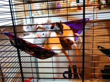Rat Intros (10)