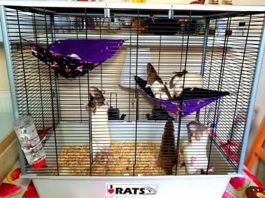 Rat Intros (11)