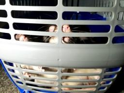 Rat Intros (6)