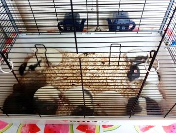 Rat Intros (9)