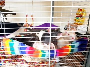 Rat Intros (20)
