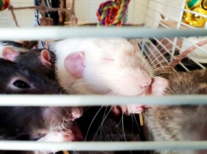 Rat Intros (22)