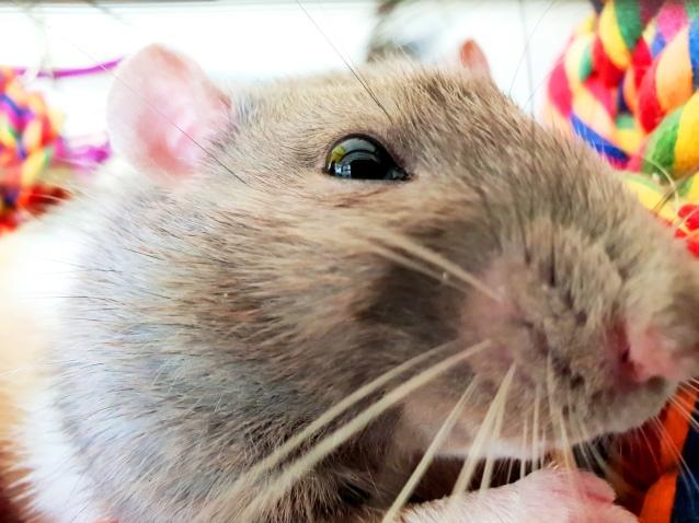 Rat Intros (23)