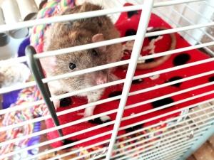 Rat Intros (25)