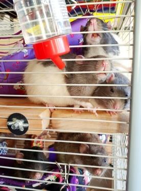 Rat Intros (26)