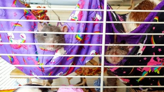Rattos (133)