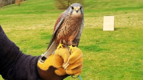 S&D Falconry (76)