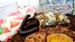 Millipedes (2)