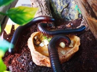 Millipedes (26)