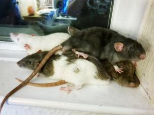 Rattos (1)