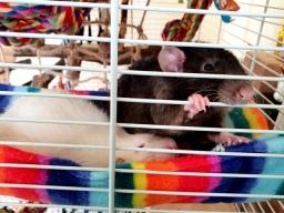 Rattos (77)